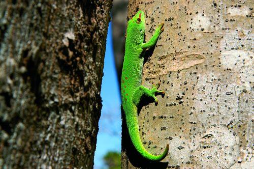Zielony Gecko codziennie wygrzewa się na swoim ulubionym drzewie