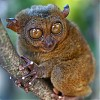 Tarsier, Filipiny